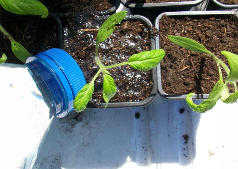 comment rempoter vos tomates pour obtenir des plants plus. Black Bedroom Furniture Sets. Home Design Ideas