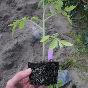 Comment rempoter vos tomates pour obtenir des plants plus forts ?