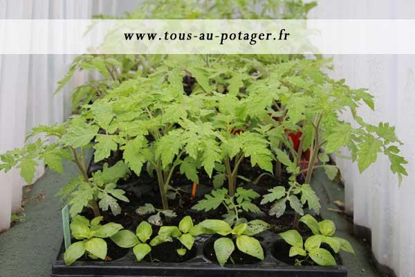 comment rempoter vos tomates pour obtenir des plants plus forts. Black Bedroom Furniture Sets. Home Design Ideas