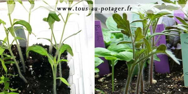 Comment Rempoter Vos Tomates Pour Obtenir Des Plants Plus Forts