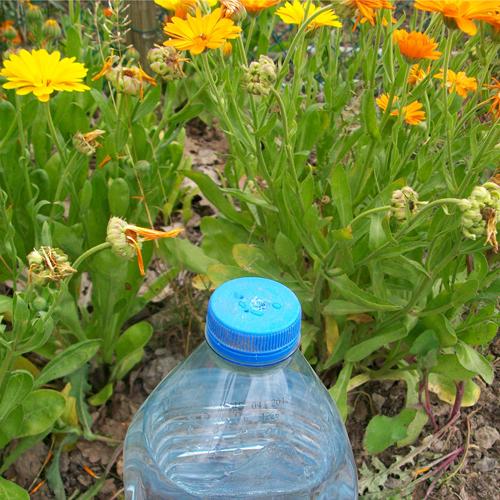 bouteille d'eau au bouchon percé pour arroser les semis