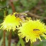 Taraxacum_officinalis