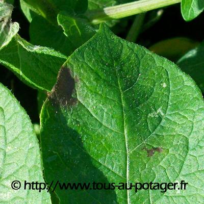 Feuille de pomme de terre attaqu e par le mildiou - Feuille pomme de terre ...