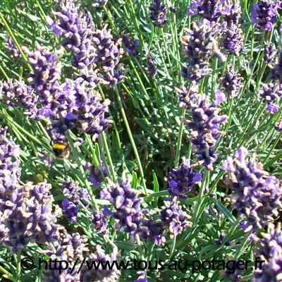mes 5 fleurs pr f r es pour attirer les pollinisateurs au potager biologique. Black Bedroom Furniture Sets. Home Design Ideas