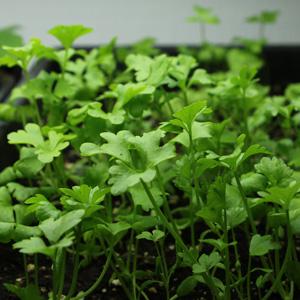 celeri-plantule
