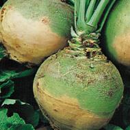 La culture du rutabaga au potager biologique