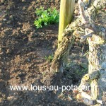 Origan fraichement transplanté à côté d'un pied de vigne