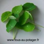 Jeunes feuilles de capucine
