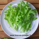 Feuilles de laitue à couper verte