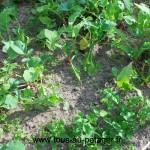 Fin de récolte sur le premier semis de radis