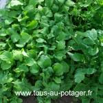 Seconde culture de radis prête à être récoltée