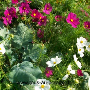 Associations de plantes : légumes, fleurs et aromatiques