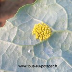 Oeufs de piérides, groupés et de couleur jaune. Ils vont prendre une teinte orangé avant d'éclore. A noter la présence d'une aleurode à côté des oeufs.