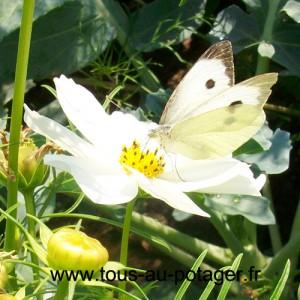 Piéride du chou femelle sur fleur de cosmos
