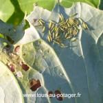Les jeunes chenilles n'attendent pas pour se nourrir des feuilles du chou