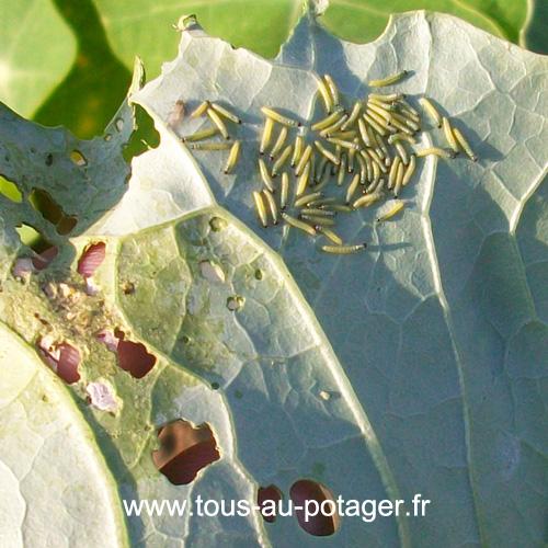 Comment lutter contre la pi ride du chou - Comment cuisiner les feuilles de betterave rouge ...