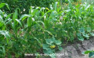 Haricot Maïs Courge en juillet