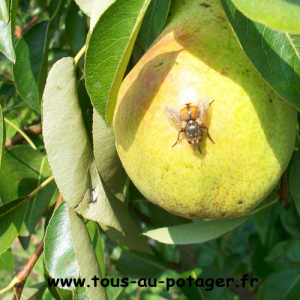 Associations de plantes : fruitiers, petits fruits, fleurs et aromatiques