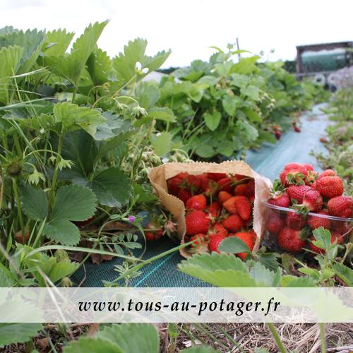 recolte-fraise