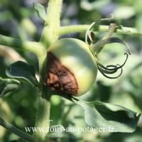 dégâts mildiou sur tomates