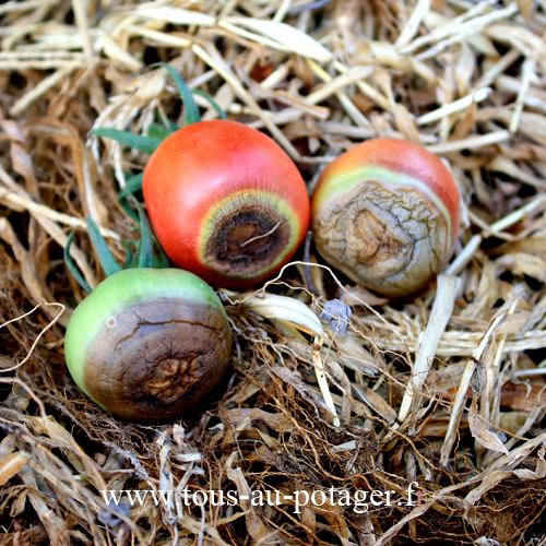 La nécrose ou pourriture apicale de la tomate