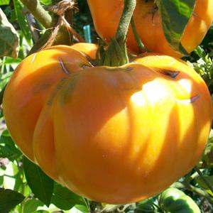 La culture des tomates au potager bio - Quand repiquer les tomates ...