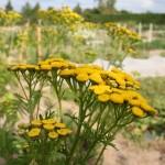 tanaisie-fleur