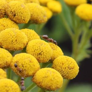 Fourmis sur fleurs de tanaisie
