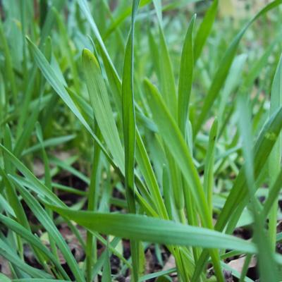 Engrais verts d automne produire du paillis - Engrais vert d automne ...