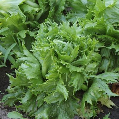 12 verdures cultiver pour vos r coltes automnales - Variete de salade d hiver ...