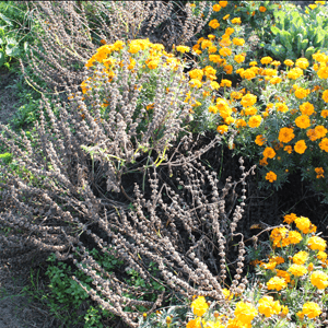 basilic-hampes-florales-seches