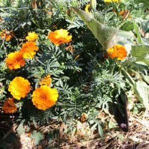 Les œillets d'inde, roses d'inde et autres tagetes au potager