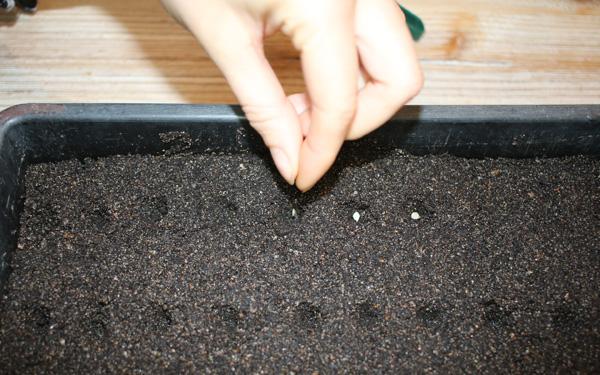 réussir le semis de vos tomates en semant de la bonne façon