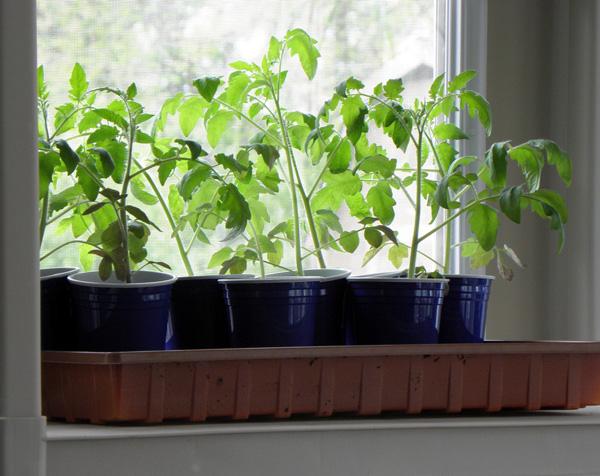 réussir le semis de vos tomates passe par une bonne exposition