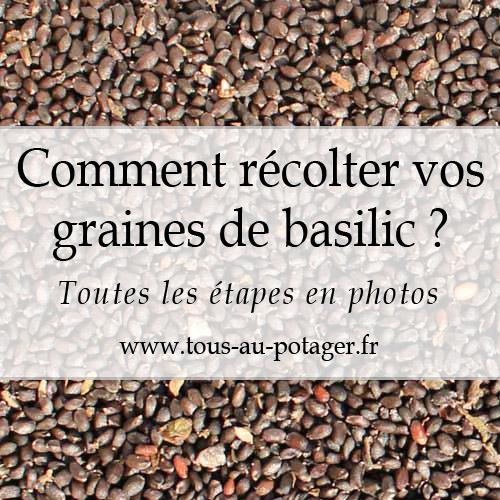 Comment récolter les semences de basilic